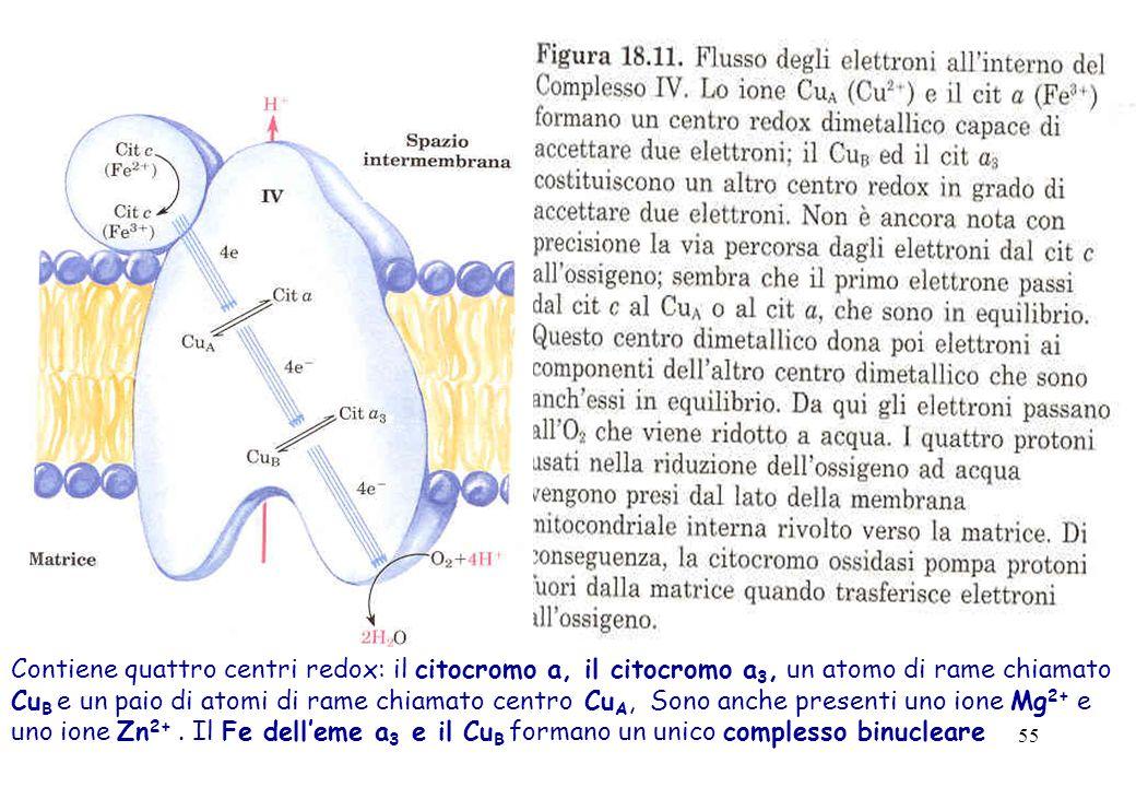 Contiene quattro centri redox: il citocromo a, il citocromo a3, un atomo di rame chiamato CuB e un paio di atomi di rame chiamato centro CuA, Sono anche presenti uno ione Mg2+ e uno ione Zn2+ .