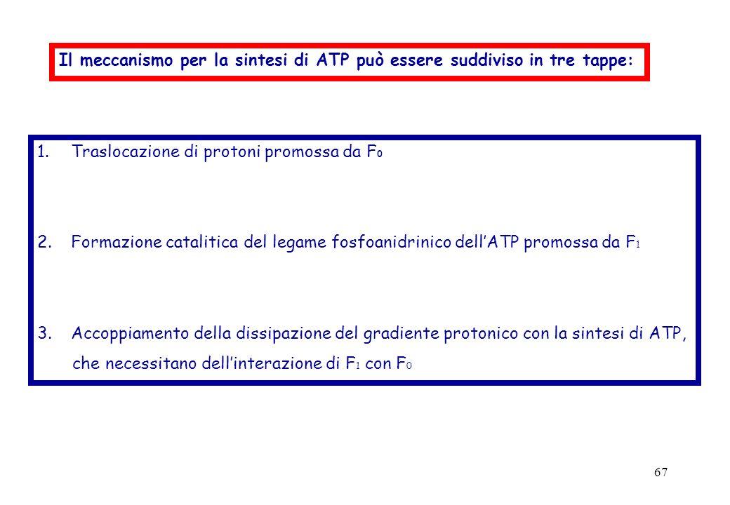 Il meccanismo per la sintesi di ATP può essere suddiviso in tre tappe: