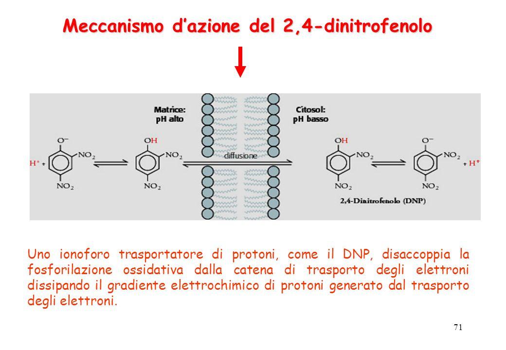 Meccanismo d'azione del 2,4-dinitrofenolo
