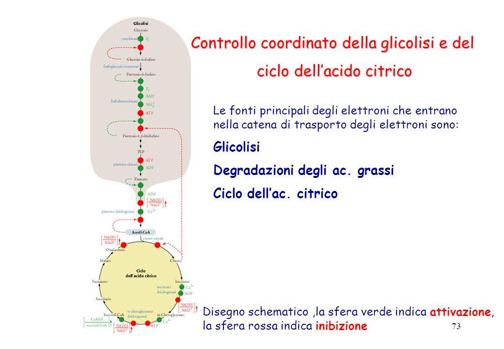 Controllo coordinato della glicolisi e del ciclo dell'acido citrico