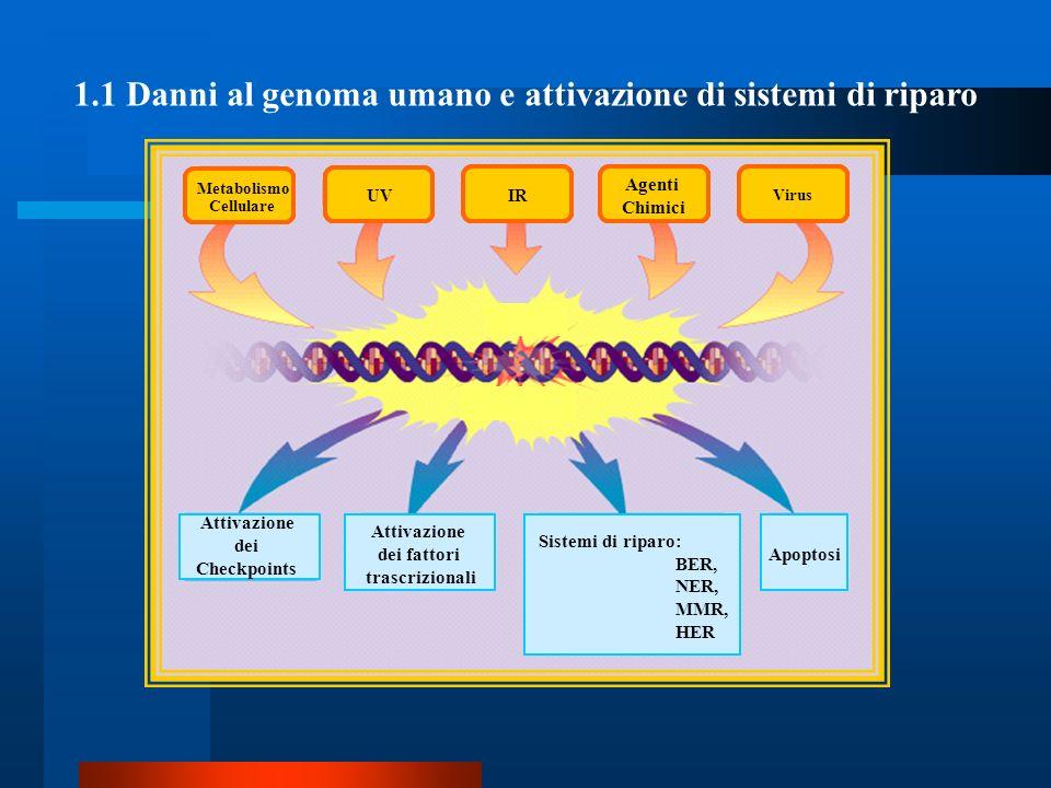 1.1 Danni al genoma umano e attivazione di sistemi di riparo