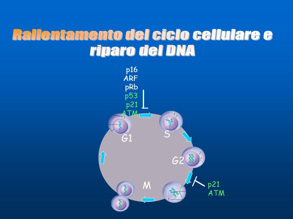 Rallentamento del ciclo cellulare e