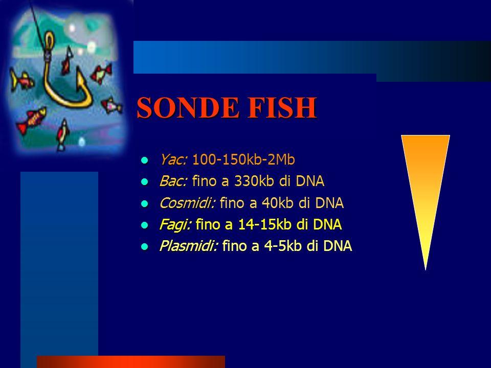 SONDE FISH Yac: 100-150kb-2Mb Bac: fino a 330kb di DNA