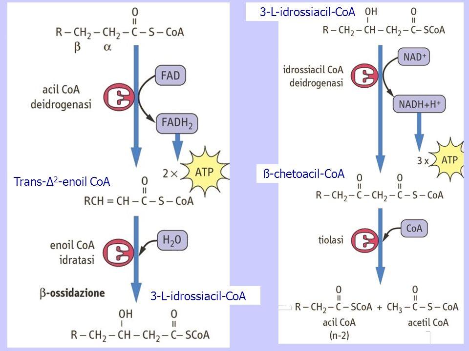3-L-idrossiacil-CoA ß-chetoacil-CoA Trans-Δ2-enoil CoA 3-L-idrossiacil-CoA