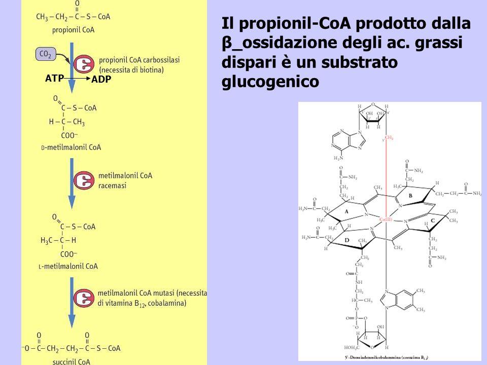 Il propionil-CoA prodotto dalla β_ossidazione degli ac