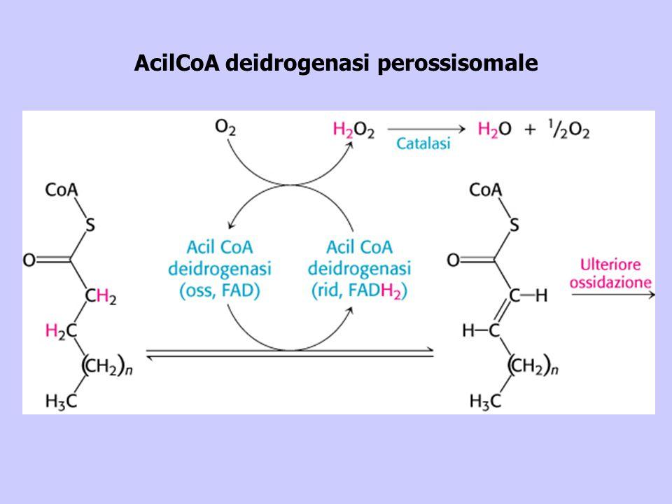 AcilCoA deidrogenasi perossisomale