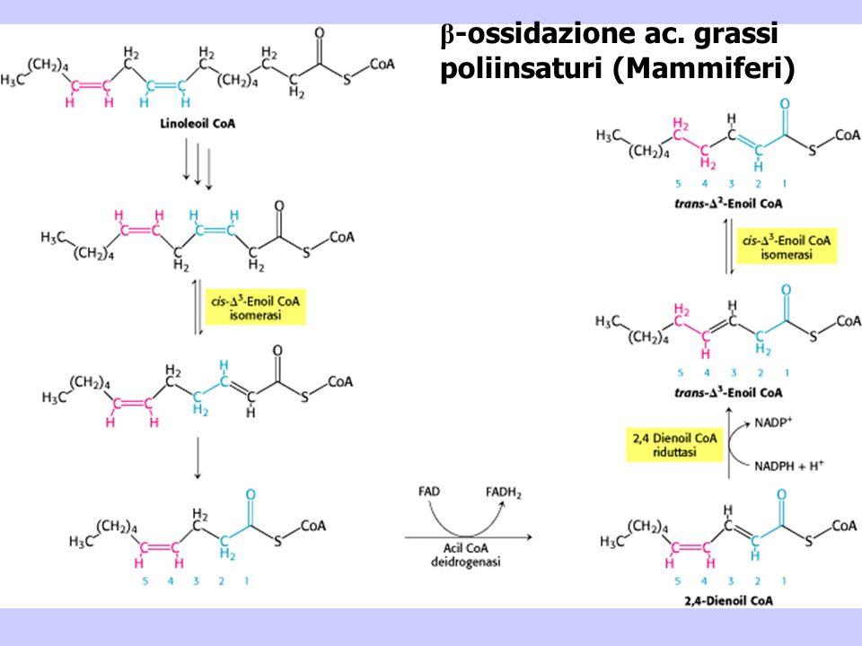 β-ossidazione ac. grassi poliinsaturi (Mammiferi)