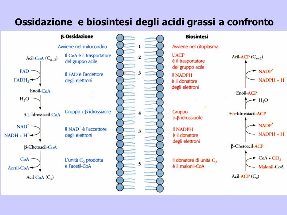 Ossidazione e biosintesi degli acidi grassi a confronto