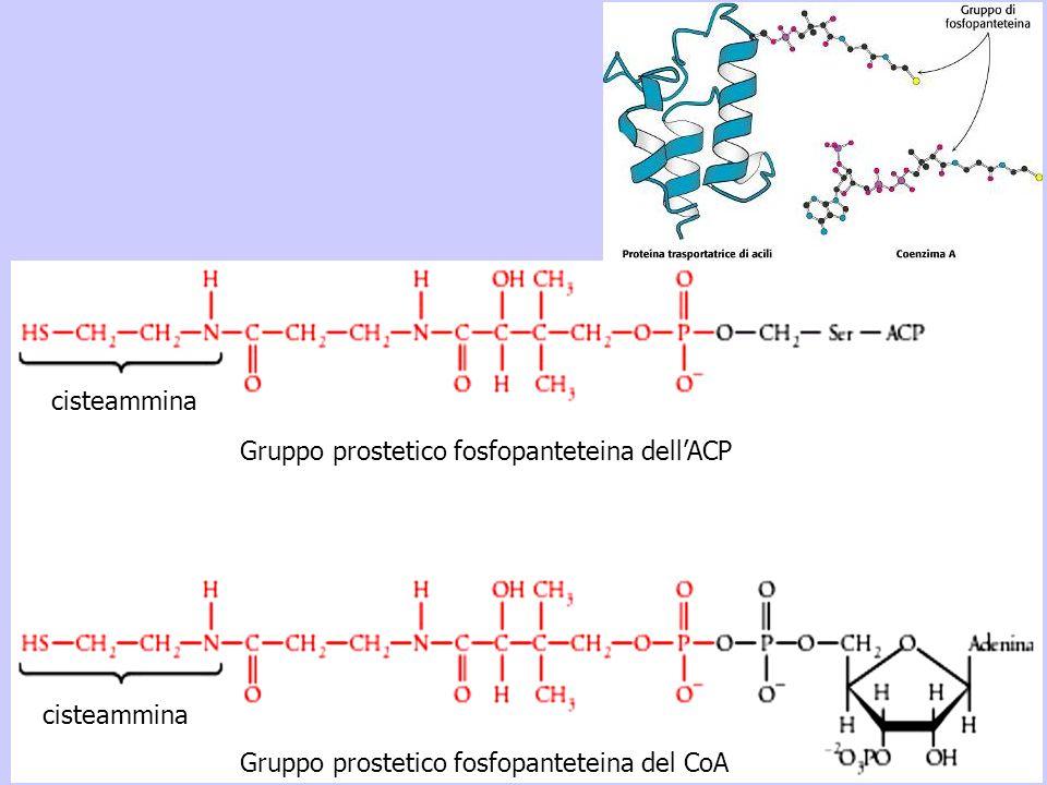 cisteammina Gruppo prostetico fosfopanteteina dell'ACP Gruppo prostetico fosfopanteteina del CoA