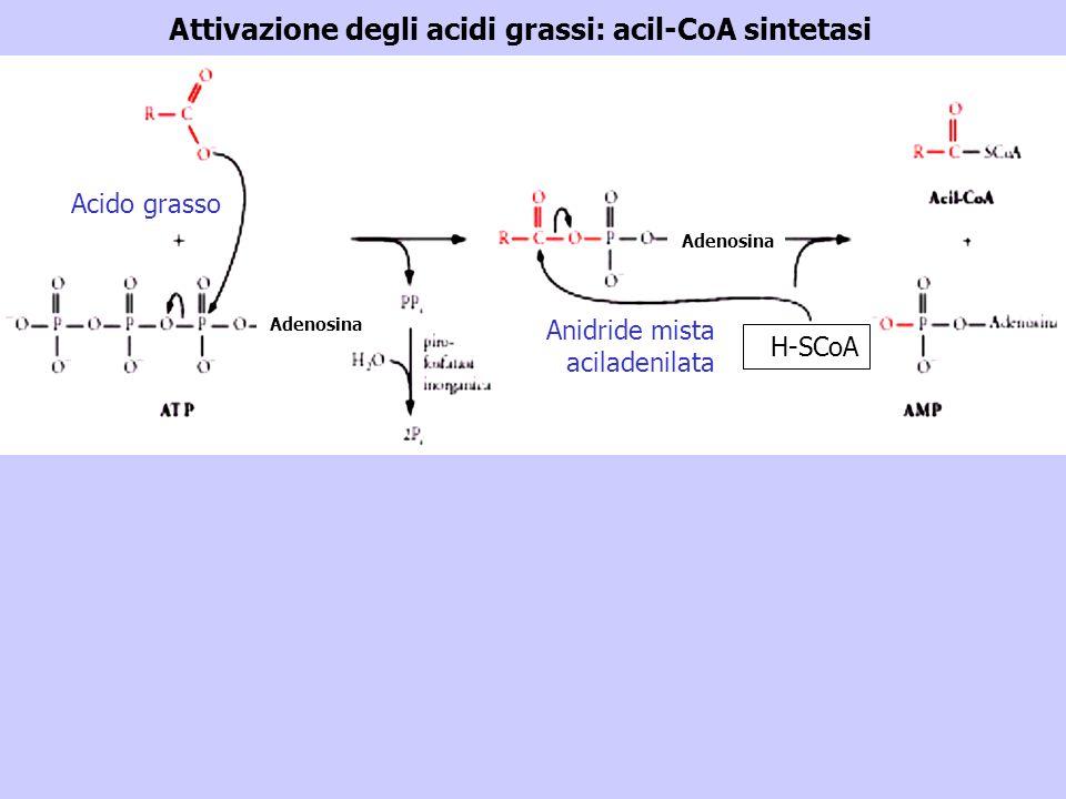 Attivazione degli acidi grassi: acil-CoA sintetasi