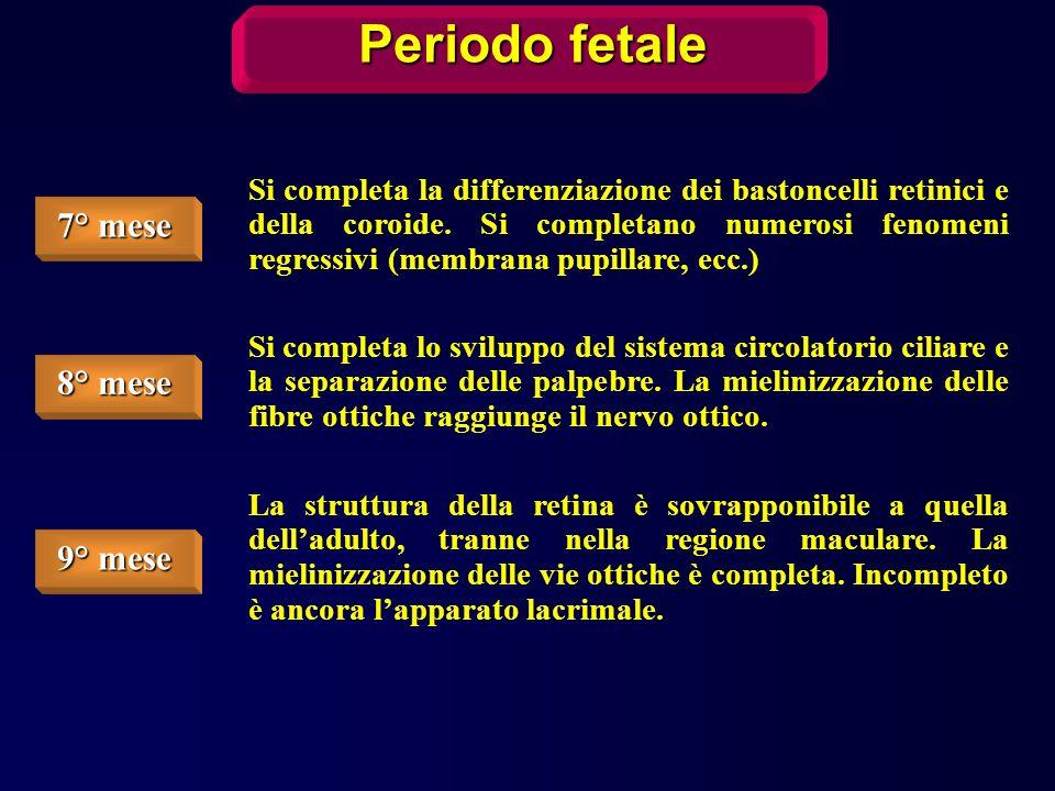 Periodo fetale 7° mese 8° mese 9° mese