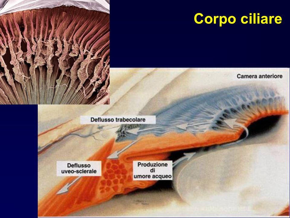 Corpo ciliare