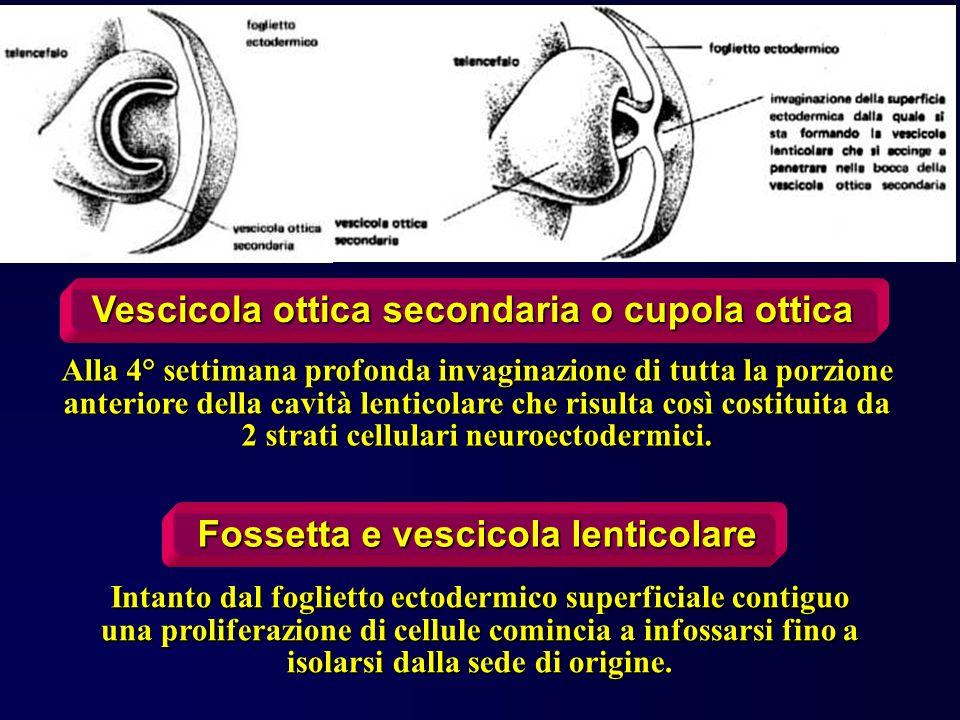 Vescicola ottica secondaria o cupola ottica