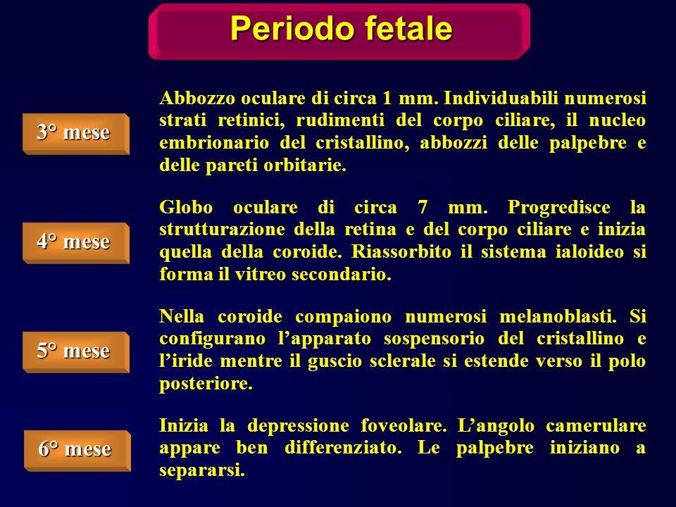 Periodo fetale 3° mese 4° mese 5° mese 6° mese