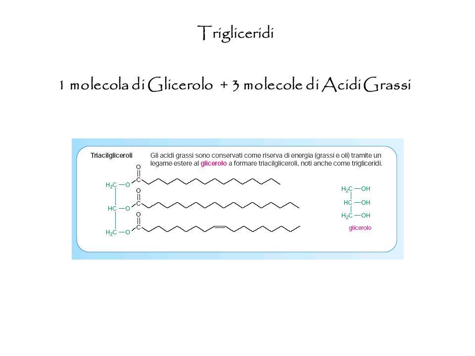 1 molecola di Glicerolo + 3 molecole di Acidi Grassi