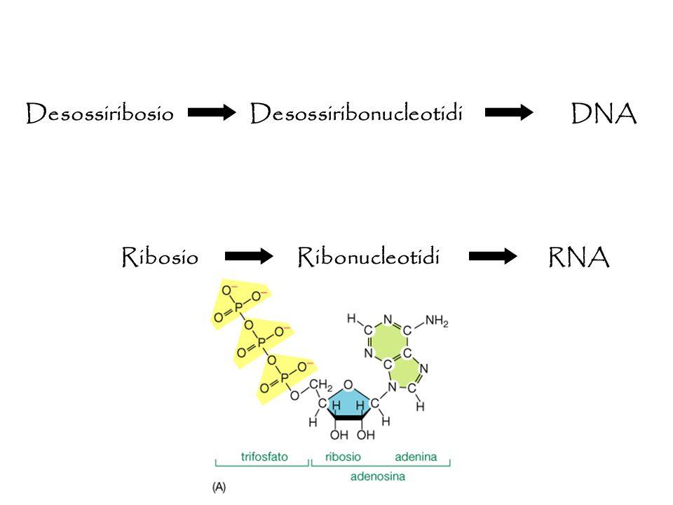 Desossiribosio Desossiribonucleotidi DNA