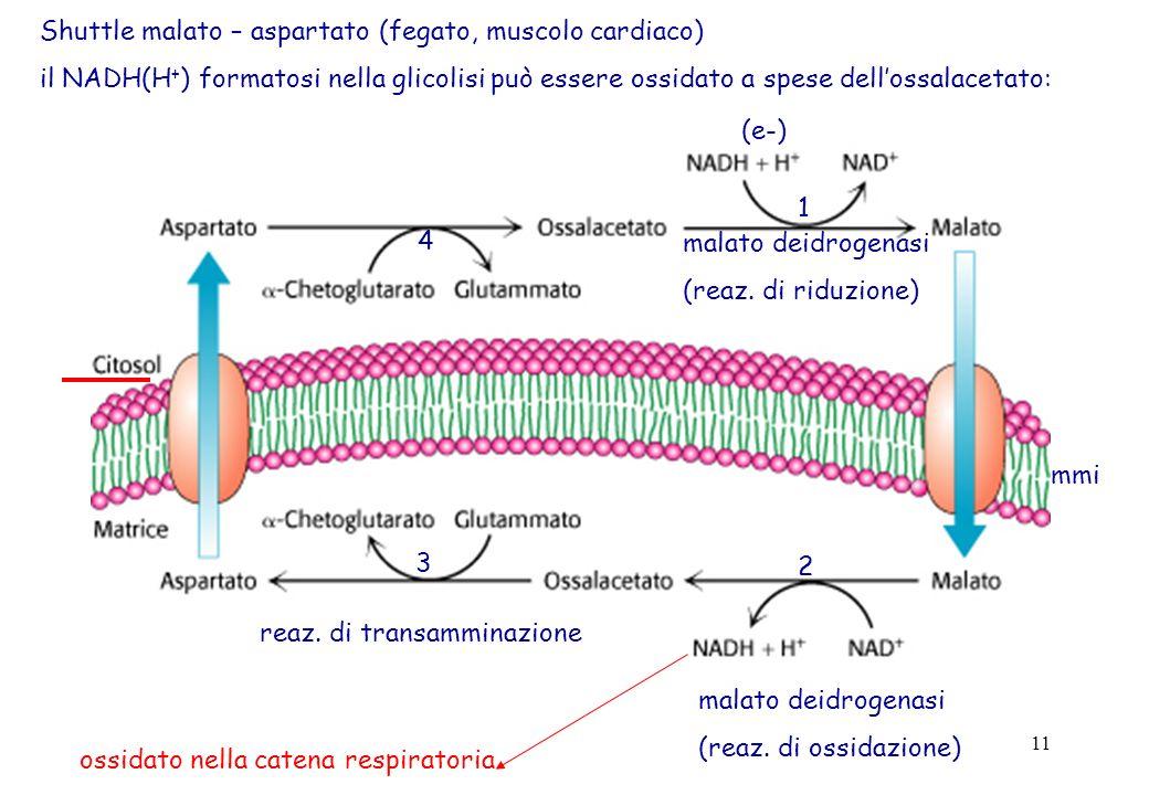 Shuttle malato – aspartato (fegato, muscolo cardiaco)