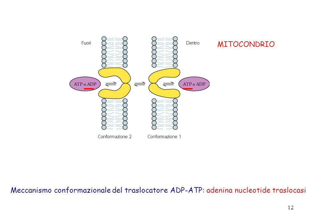 MITOCONDRIO Meccanismo conformazionale del traslocatore ADP-ATP: adenina nucleotide traslocasi