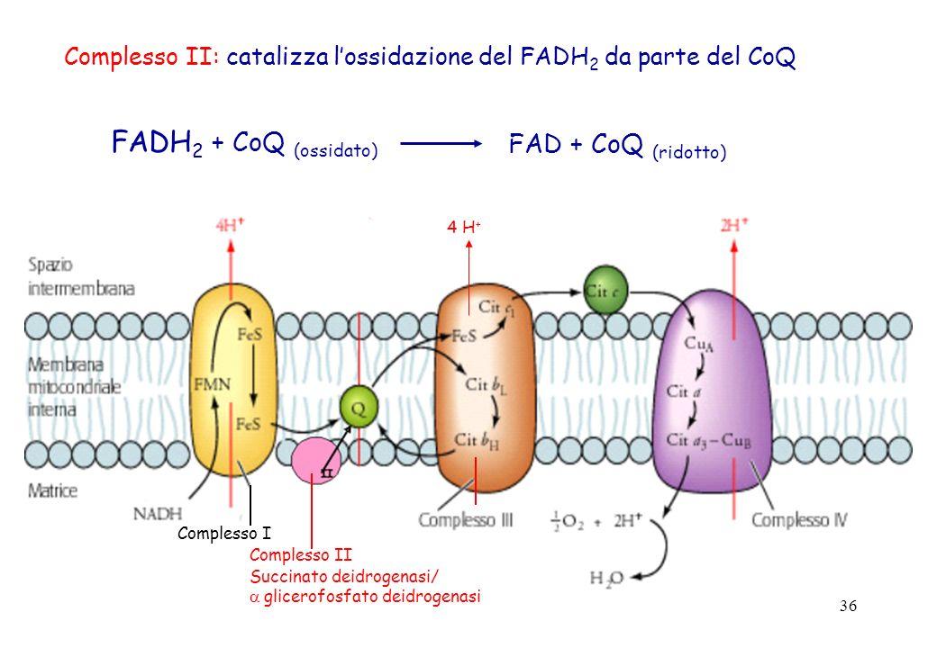 FADH2 + CoQ (ossidato) FAD + CoQ (ridotto)