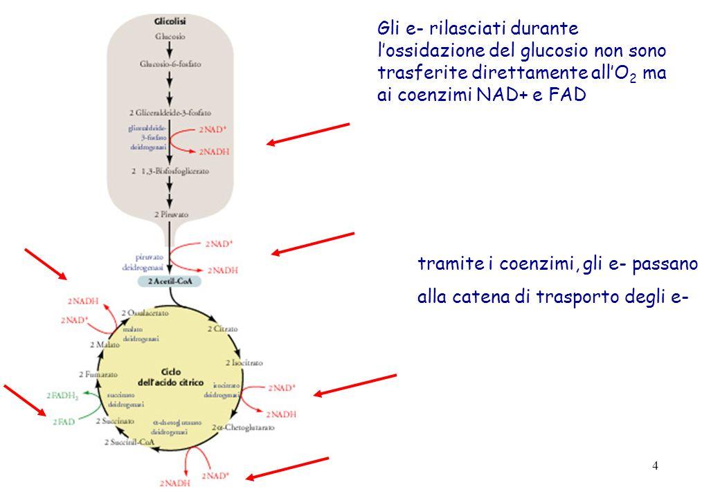 Gli e- rilasciati durante l'ossidazione del glucosio non sono trasferite direttamente all'O2 ma ai coenzimi NAD+ e FAD