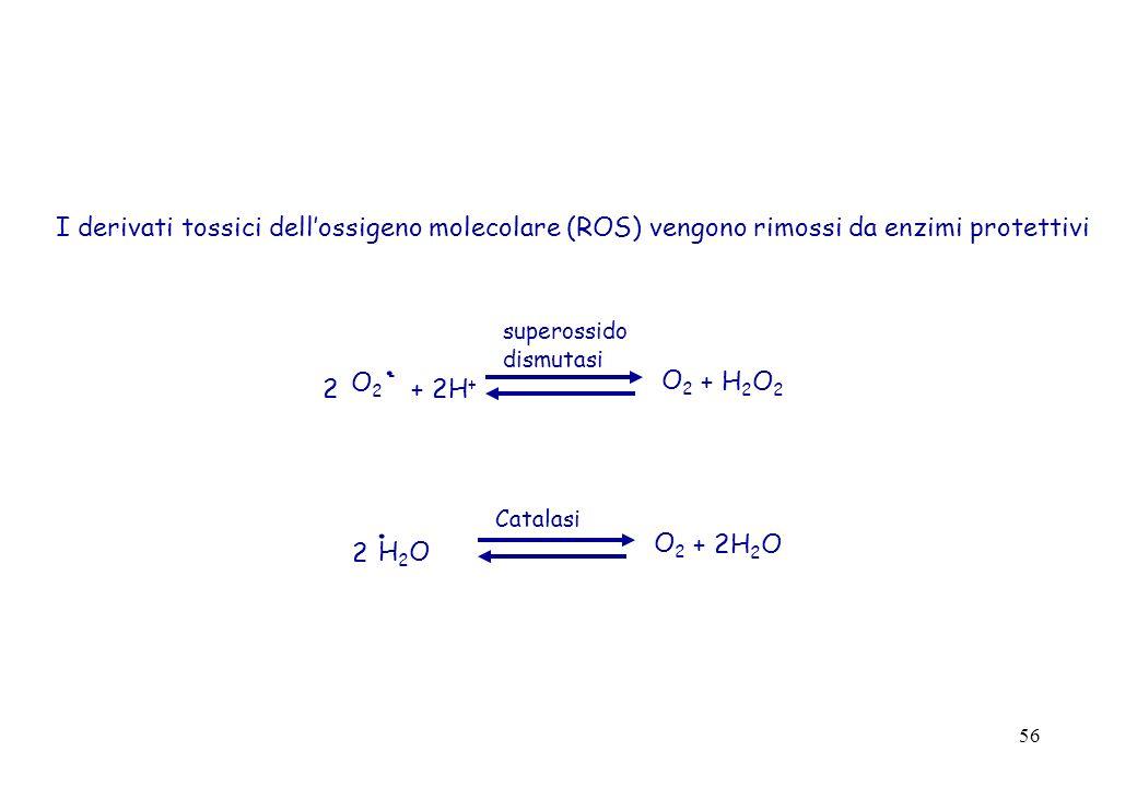 I derivati tossici dell'ossigeno molecolare (ROS) vengono rimossi da enzimi protettivi
