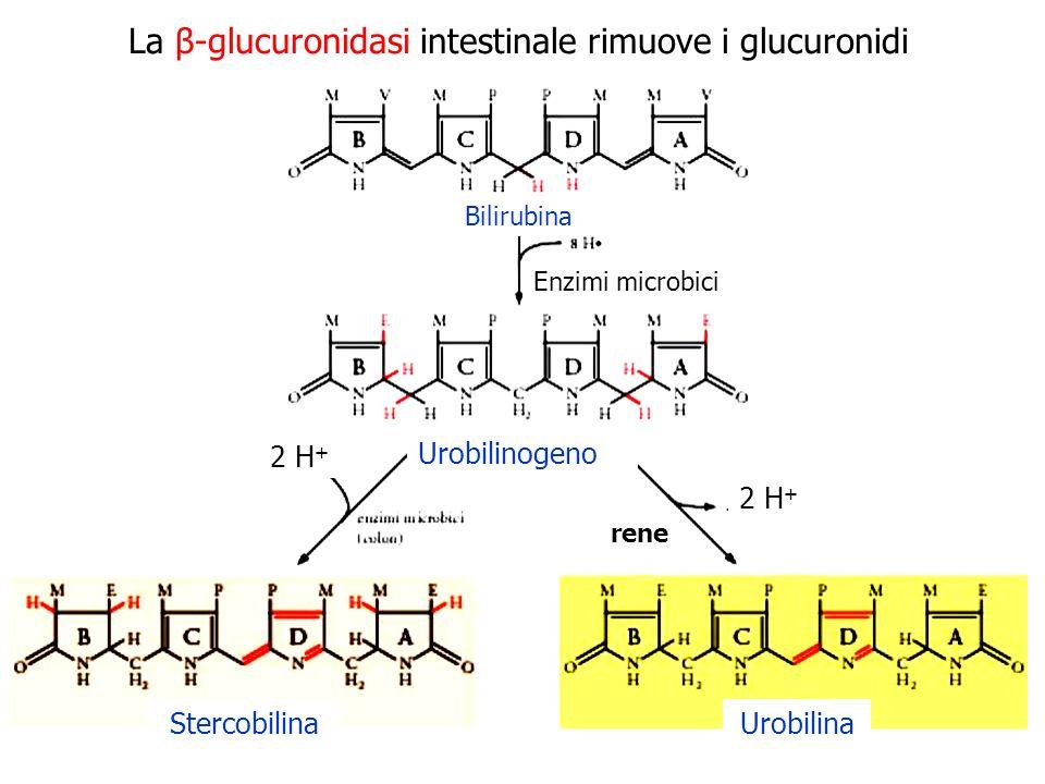La β-glucuronidasi intestinale rimuove i glucuronidi