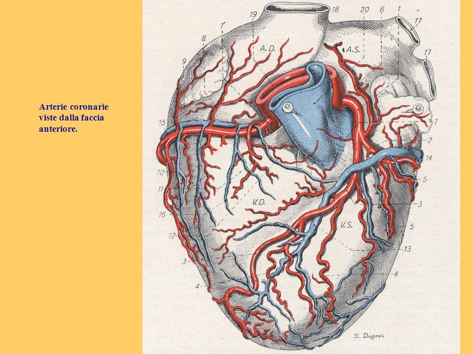 Arterie coronarie viste dalla faccia anteriore.
