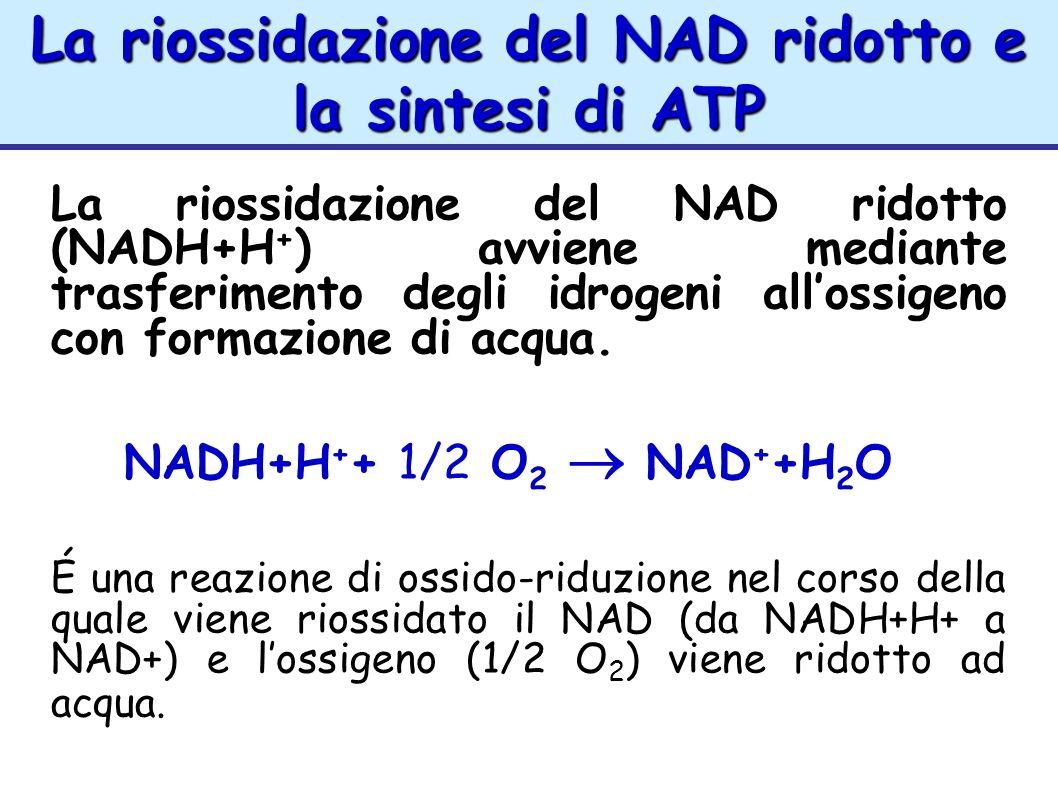 La riossidazione del NAD ridotto e la sintesi di ATP