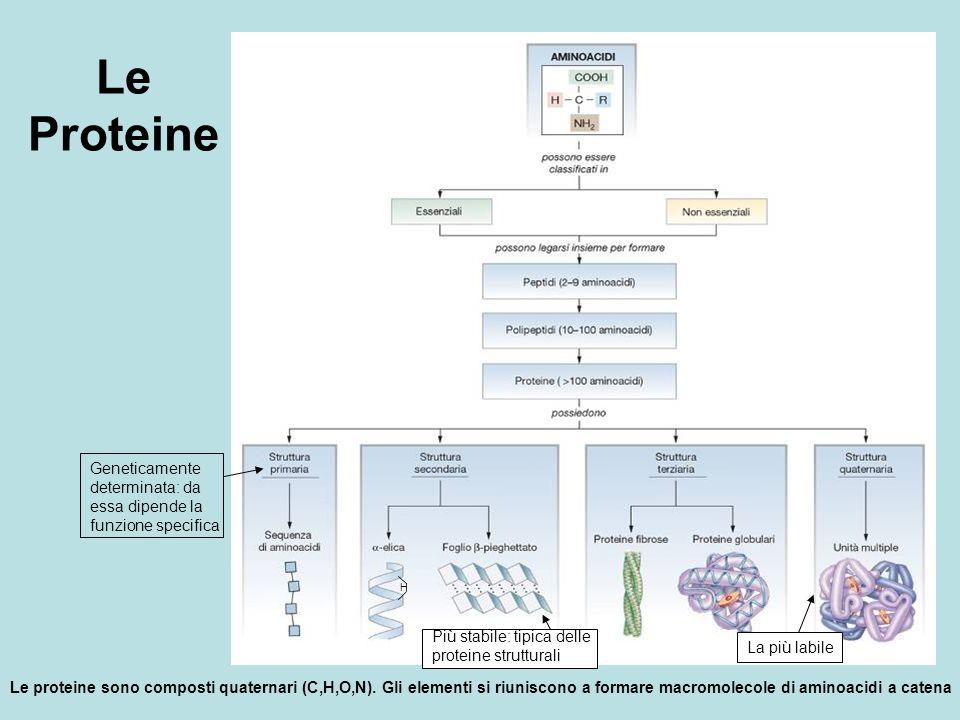 Le Proteine Geneticamente determinata: da essa dipende la funzione specifica. Più stabile: tipica delle proteine strutturali.