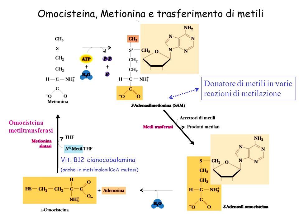 Omocisteina, Metionina e trasferimento di metili