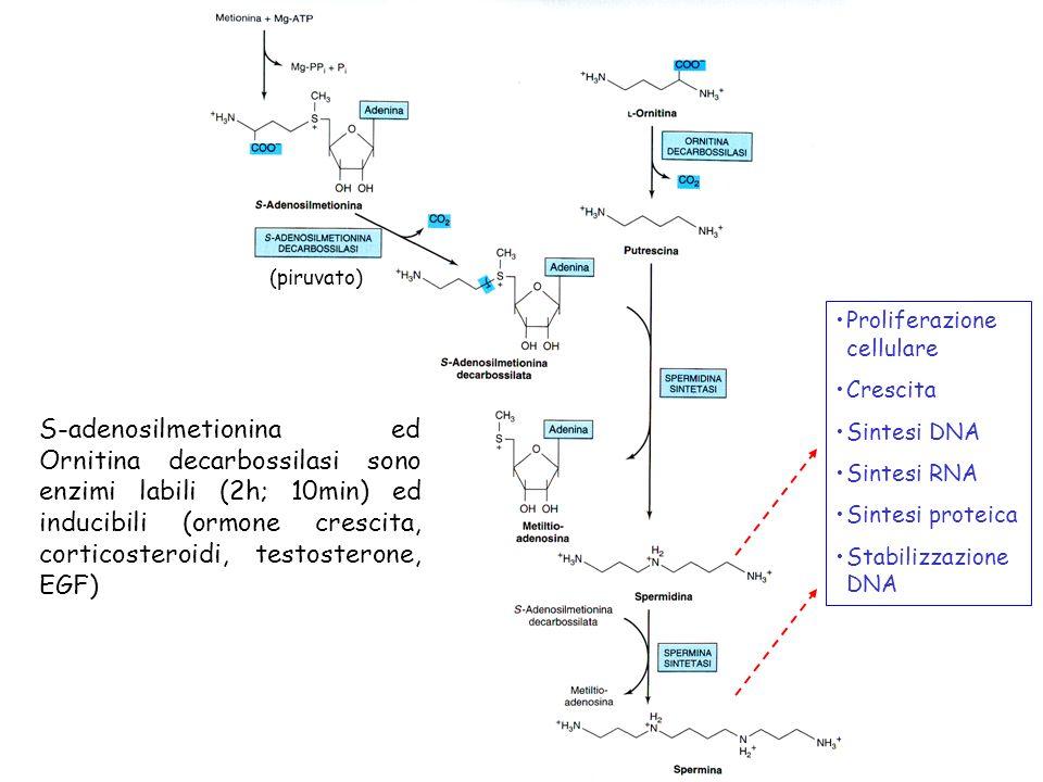 (piruvato) Proliferazione cellulare. Crescita. Sintesi DNA. Sintesi RNA. Sintesi proteica. Stabilizzazione DNA.