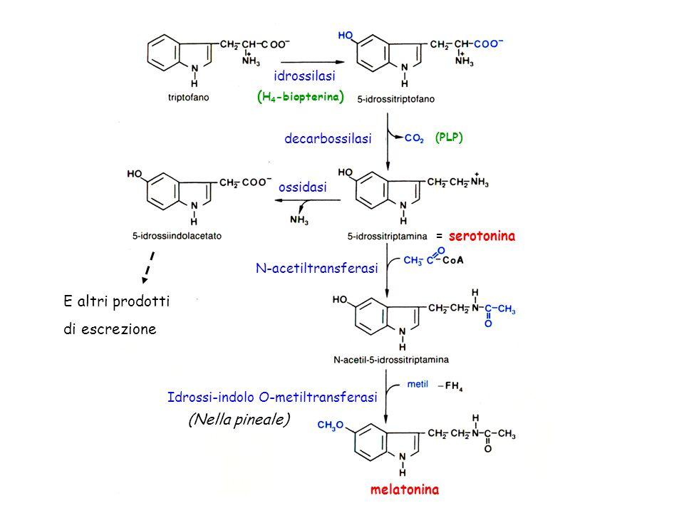 E altri prodotti di escrezione (Nella pineale) idrossilasi