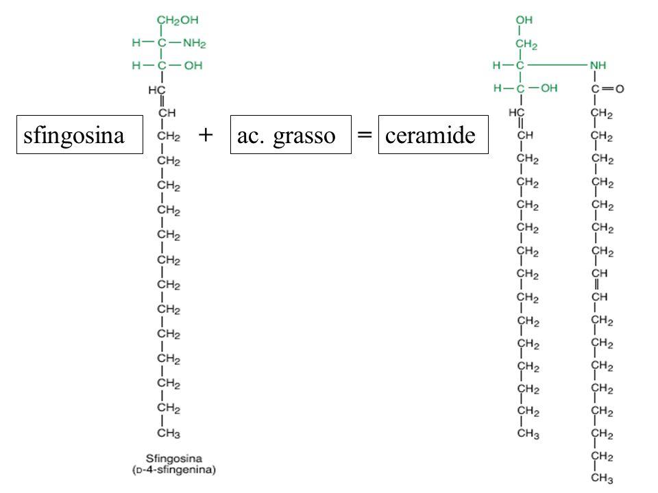sfingosina + ac. grasso = ceramide