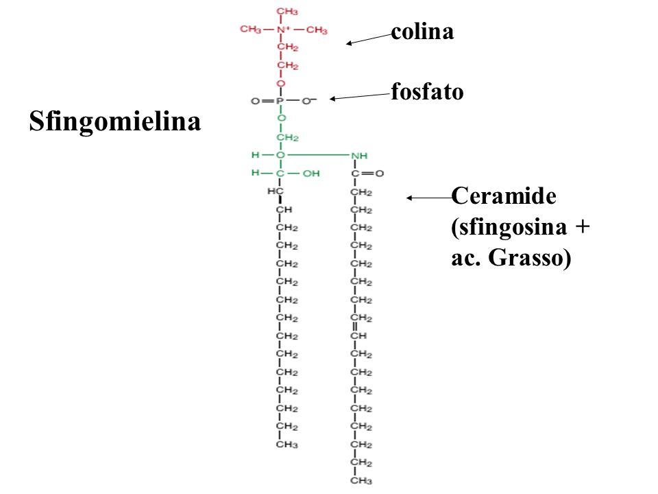colina fosfato Sfingomielina Ceramide (sfingosina + ac. Grasso)
