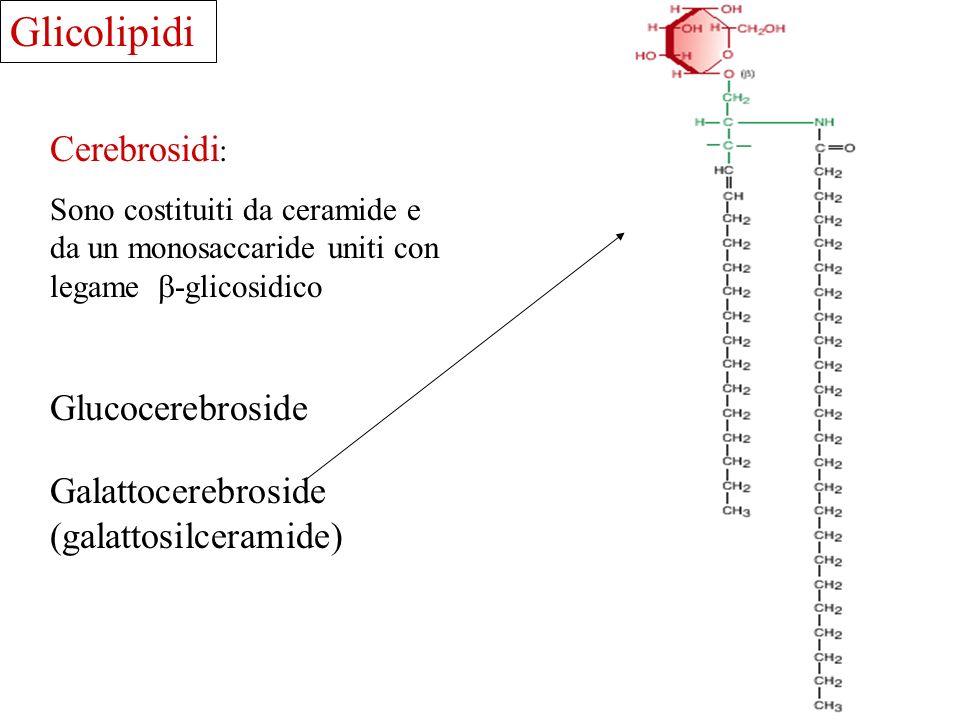 Glicolipidi Cerebrosidi: Glucocerebroside Galattocerebroside