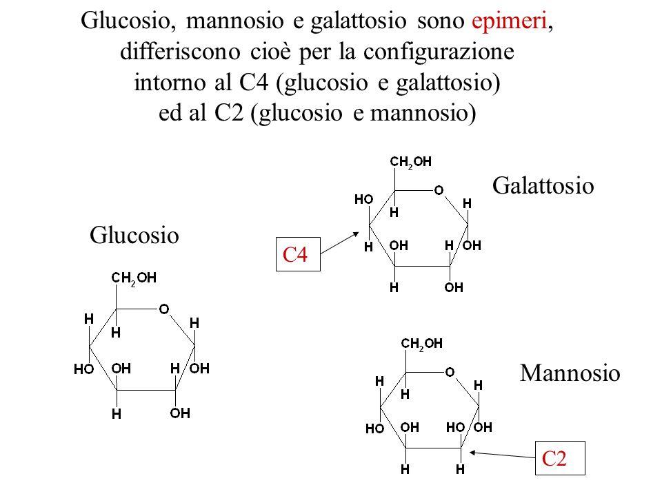 intorno al C4 (glucosio e galattosio) ed al C2 (glucosio e mannosio)