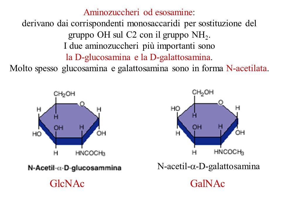 GlcNAc GalNAc Aminozuccheri od esosamine: