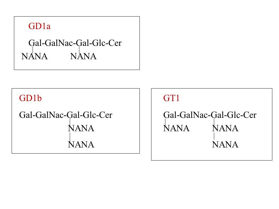 GD1a Gal-GalNac-Gal-Glc-Cer. NANA. NANA. GD1b. Gal-GalNac-Gal-Glc-Cer. GT1. Gal-GalNac-Gal-Glc-Cer.
