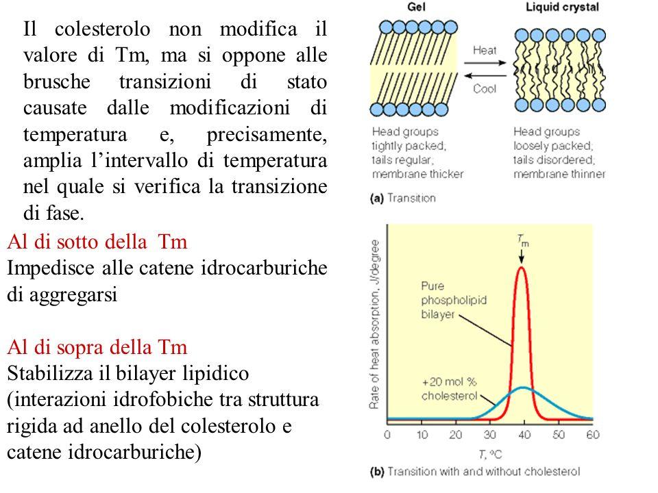 Il colesterolo non modifica il valore di Tm, ma si oppone alle brusche transizioni di stato causate dalle modificazioni di temperatura e, precisamente, amplia l'intervallo di temperatura nel quale si verifica la transizione di fase.