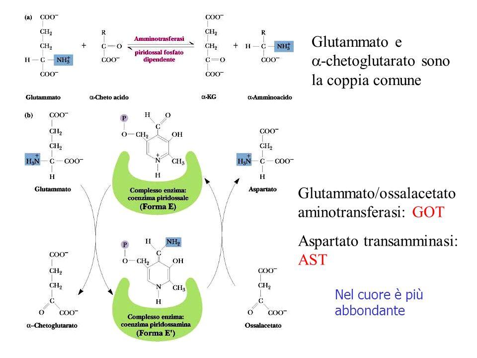 Glutammato/ossalacetato aminotransferasi: GOT