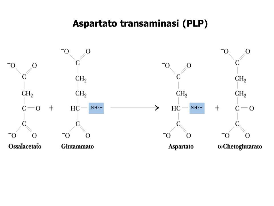 Aspartato transaminasi (PLP)