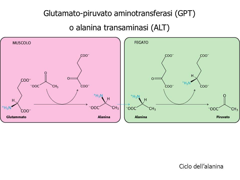 Glutamato-piruvato aminotransferasi (GPT) o alanina transaminasi (ALT)