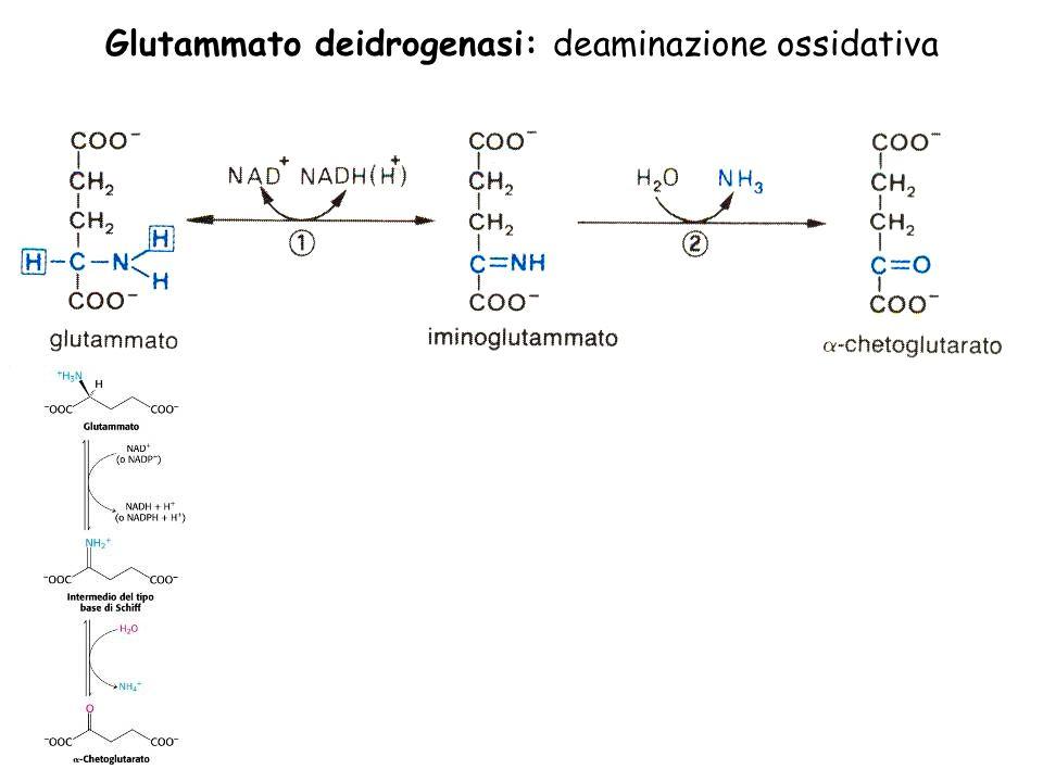 Glutammato deidrogenasi: deaminazione ossidativa