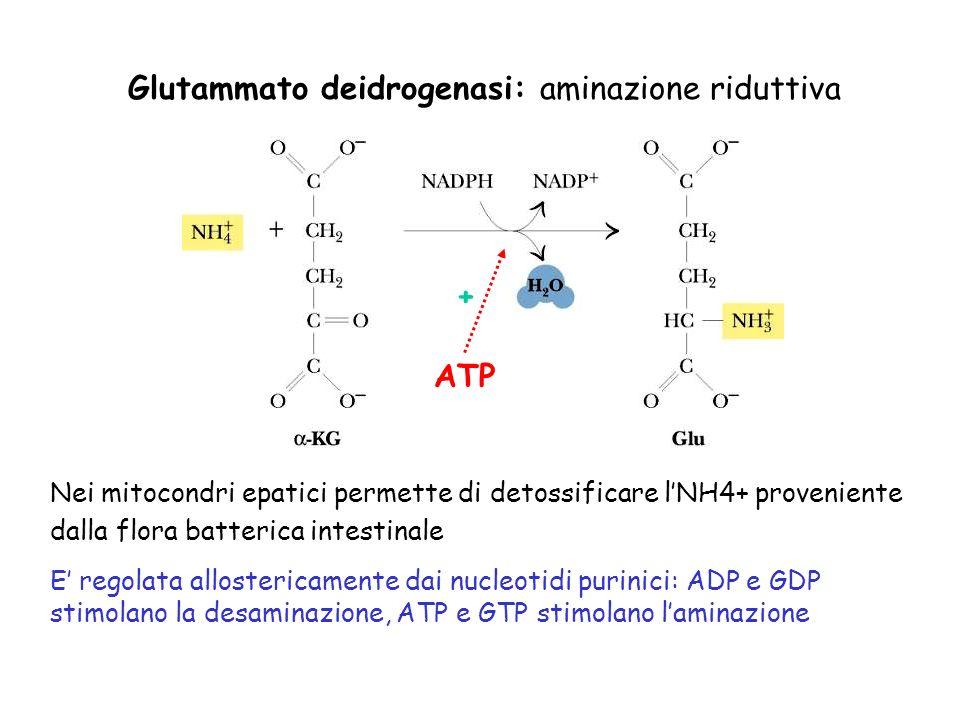 Glutammato deidrogenasi: aminazione riduttiva