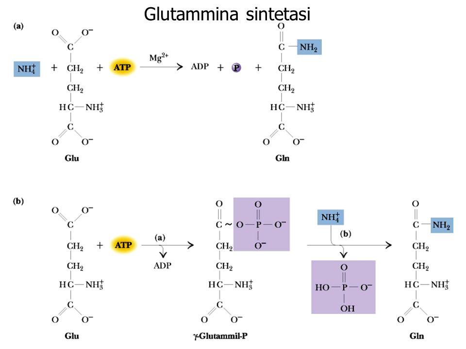 Glutammina sintetasi