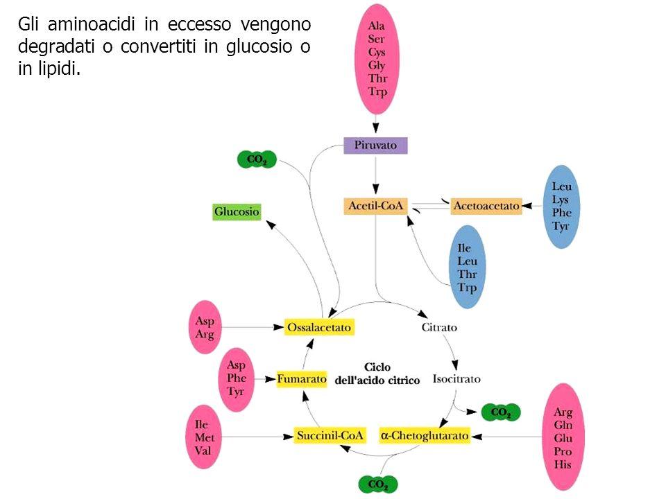 Gli aminoacidi in eccesso vengono degradati o convertiti in glucosio o in lipidi.