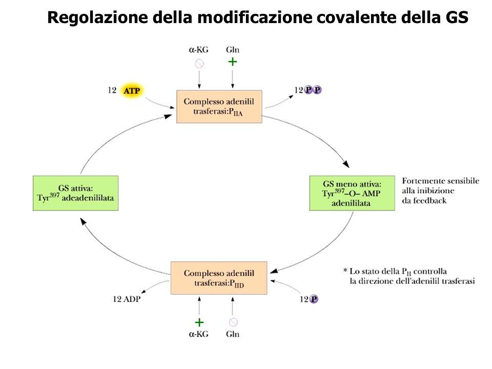 Regolazione della modificazione covalente della GS