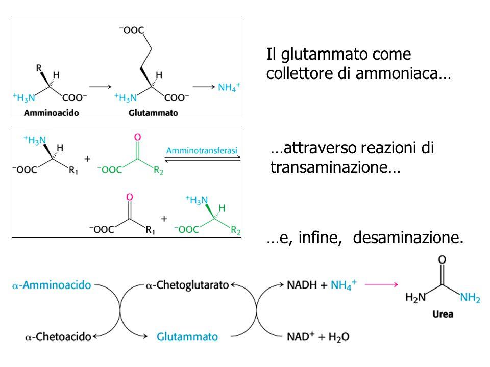 Il glutammato come collettore di ammoniaca…