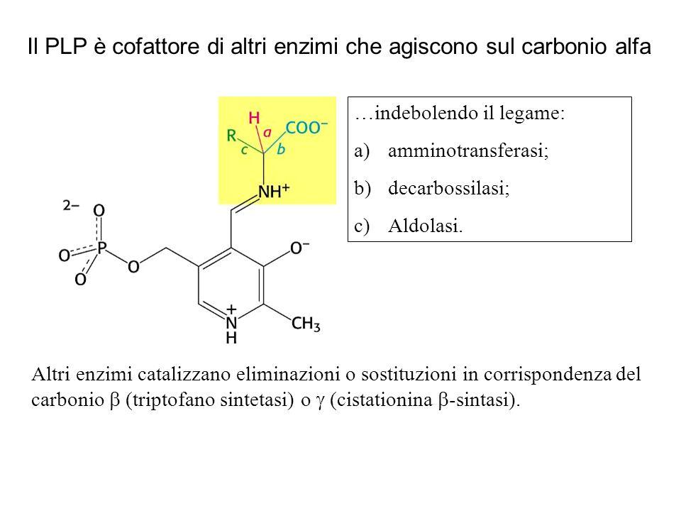 Il PLP è cofattore di altri enzimi che agiscono sul carbonio alfa