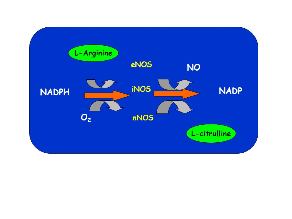 L-Arginine L-citrulline eNOS iNOS nNOS NADP O2 NO NADPH